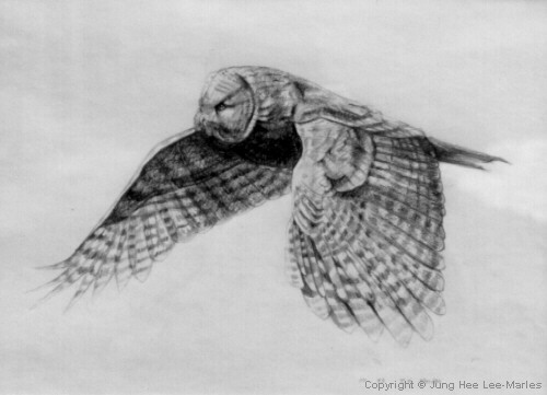 Flying owl pencil drawings - photo#13